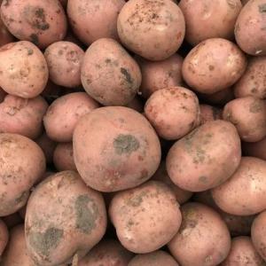 Bodemische aardappel