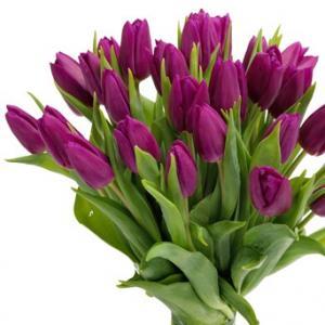 Tulpen paars