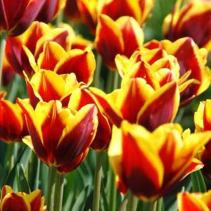 Tulpen rood/geel gevlamd